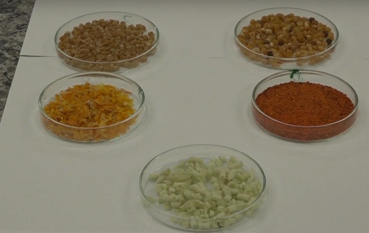 Material para produção de embalagem feito a partir de casca de tomate (esquerda) e polpa de tomate (direita): filme da casca teve efeito antioxidante maior (Reprodução/Núcleo de Divulgação Científica da UFLA)