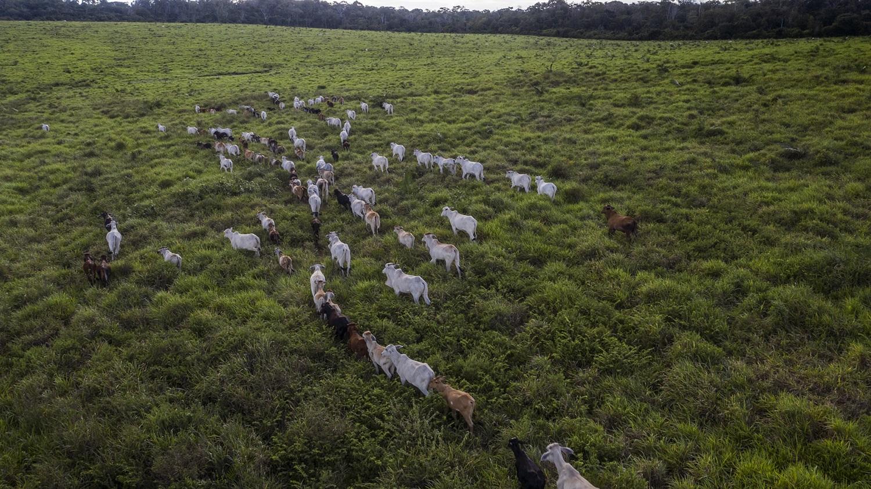 Imagem de um rebanho bovino no limite da Floresta Nacional do Tapajós, altura do Km 88 da BR-163. Foto Marizilda Cruppe
