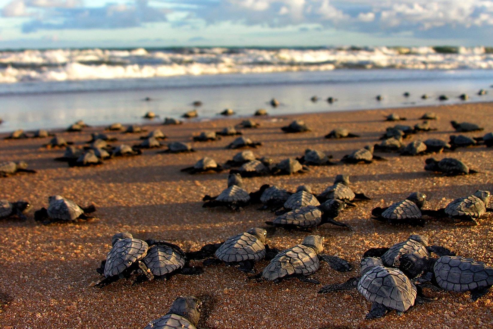 Manchas de óleo se transformam em barreiras para o deslocamento de tartarugas do Projeto Tamar. Foto Divulgação