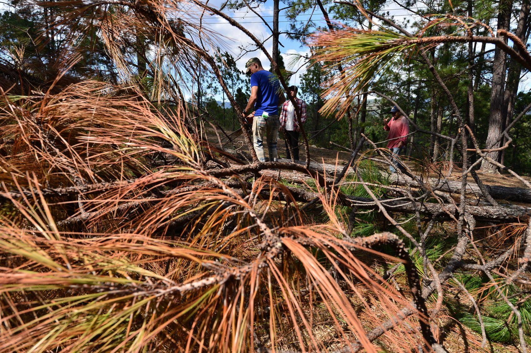 Agricultores hondurenhos cortam árvores danificadas pela seca e pelas pragas de insetos: agências da ONU calculam 1,4 milhão de pessoas ameaçadas pela fome na América Central (Foto Orlando Sierra/AFP)