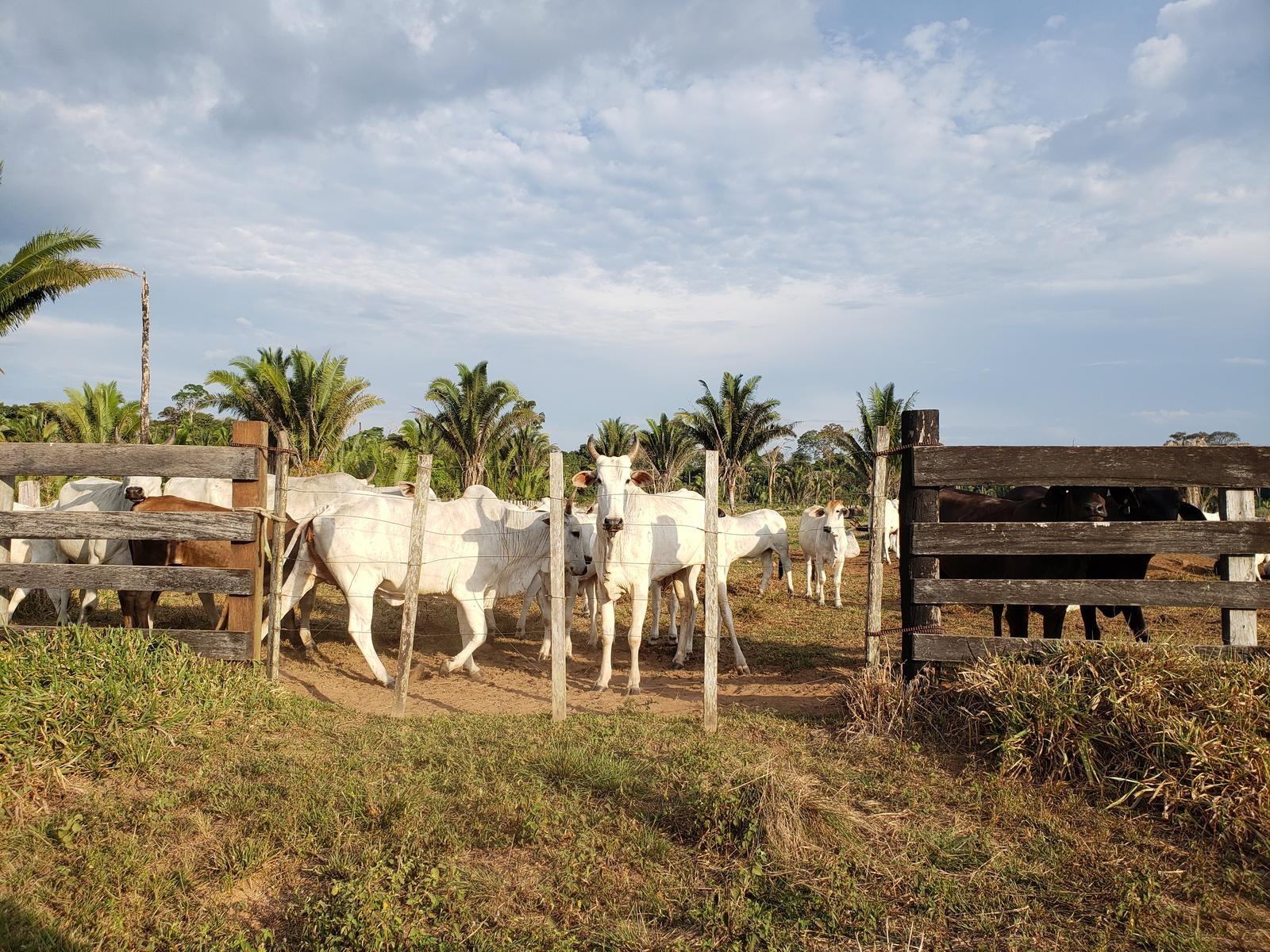 Rebanho ocupa ilegalmente uma parte da reserva Rio Ouro Preto, em Rondônia. Foto Anistia Internacional