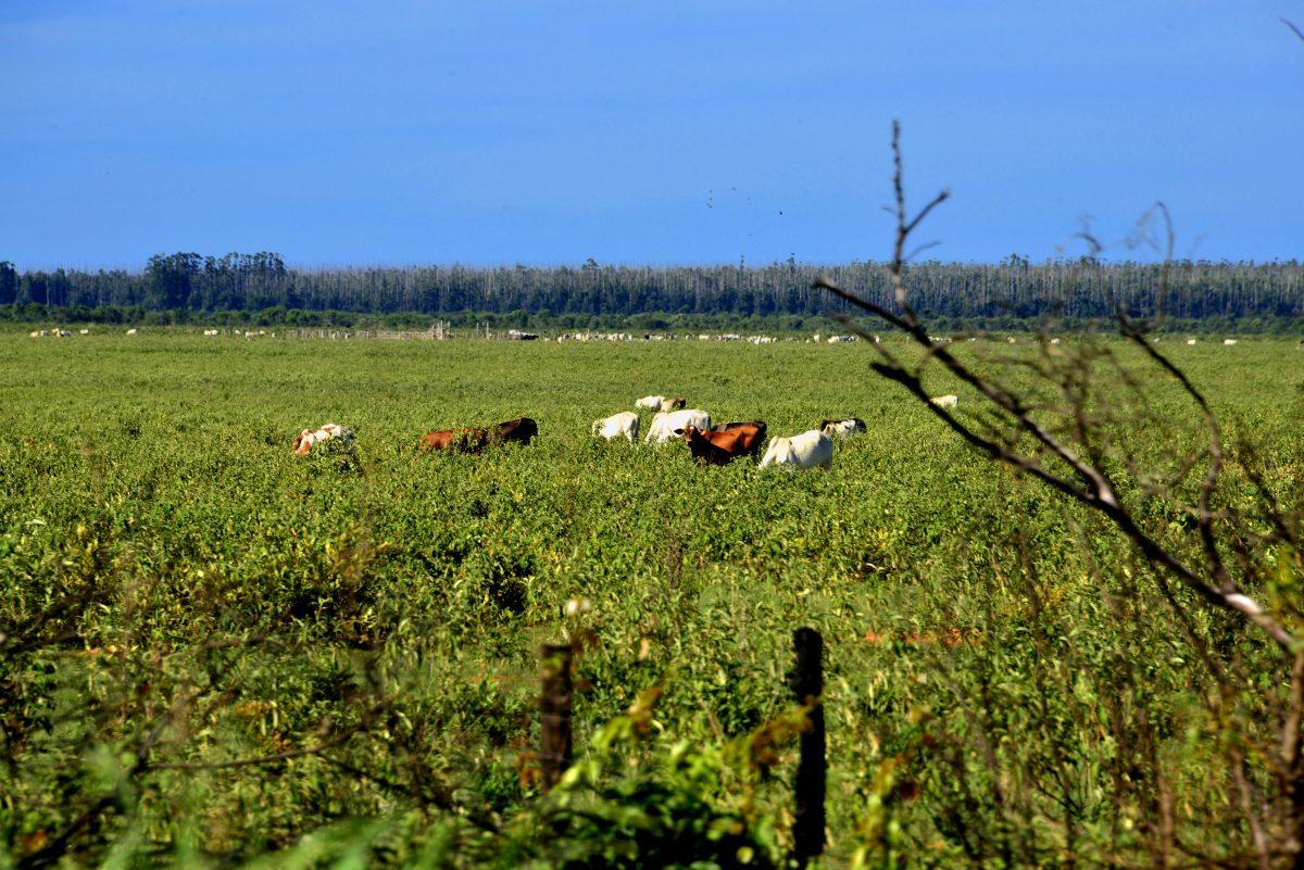 Fazendas de gado e eucalipto disputam água e terra no Cerrado. Foto de Mirian Fichtner