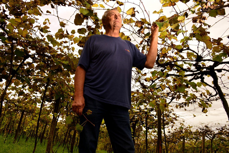 Sérgio Lixinski, vitivinicultor de Jaguari, compara o 2,4-D a um câncer nas parreiras. Foto de Mirian Fichtner