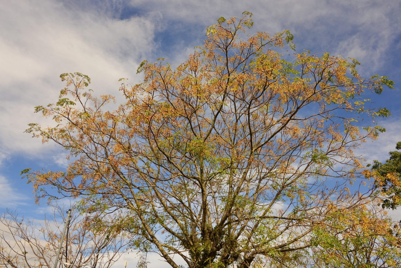O cinamomo, árvore típico do Sul do país, não passou ileso à contaminação do herbicida. A deriva começou no meio rural e chegou aos centros urbanos. Foto de Mirian Fichtner