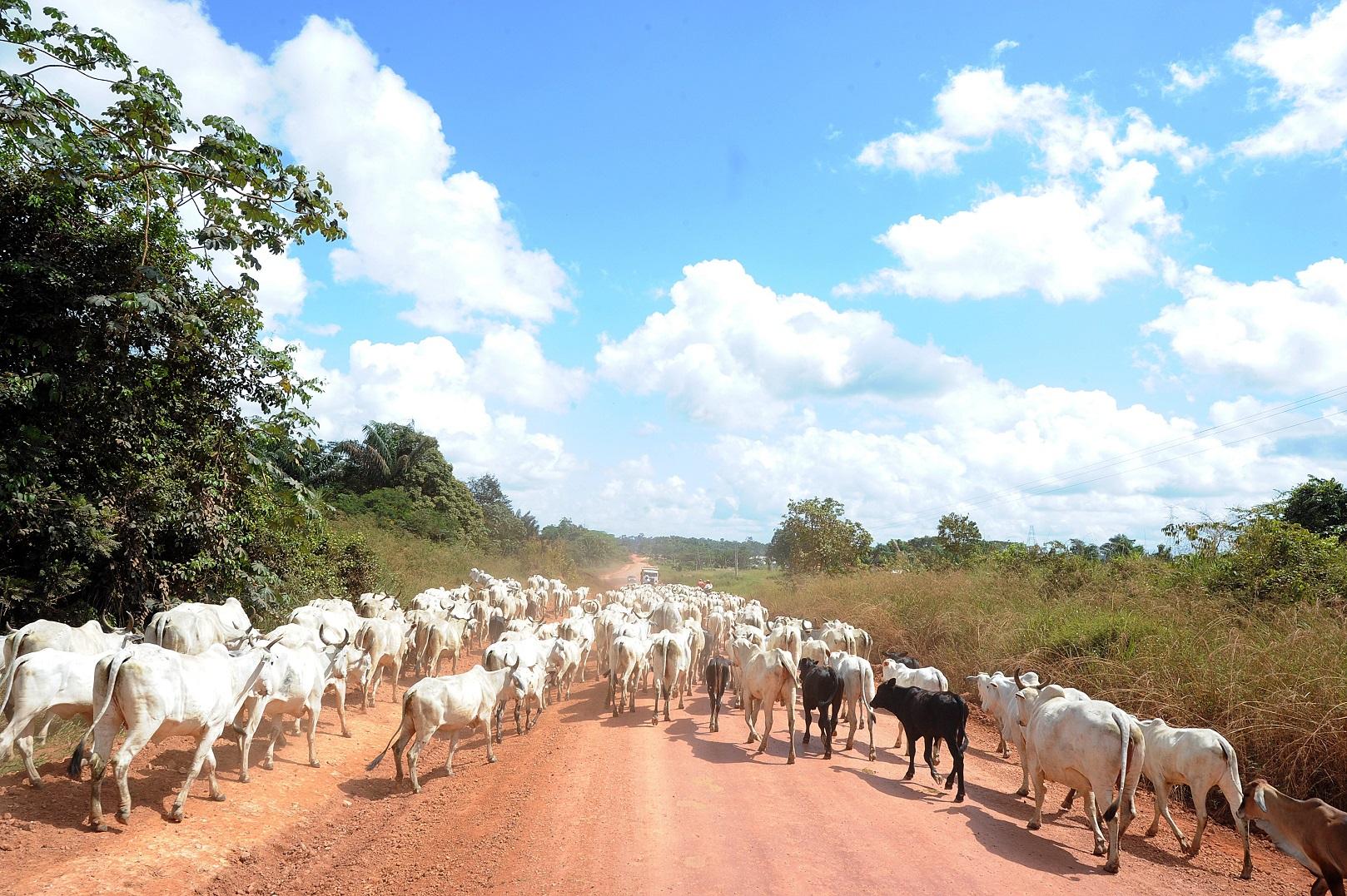 O gado invade a rodovia Transamazônica, próxima à cidade de Anapu, onde os conflitos de terra são frequentes. Foto Evaristo Sá/AFP