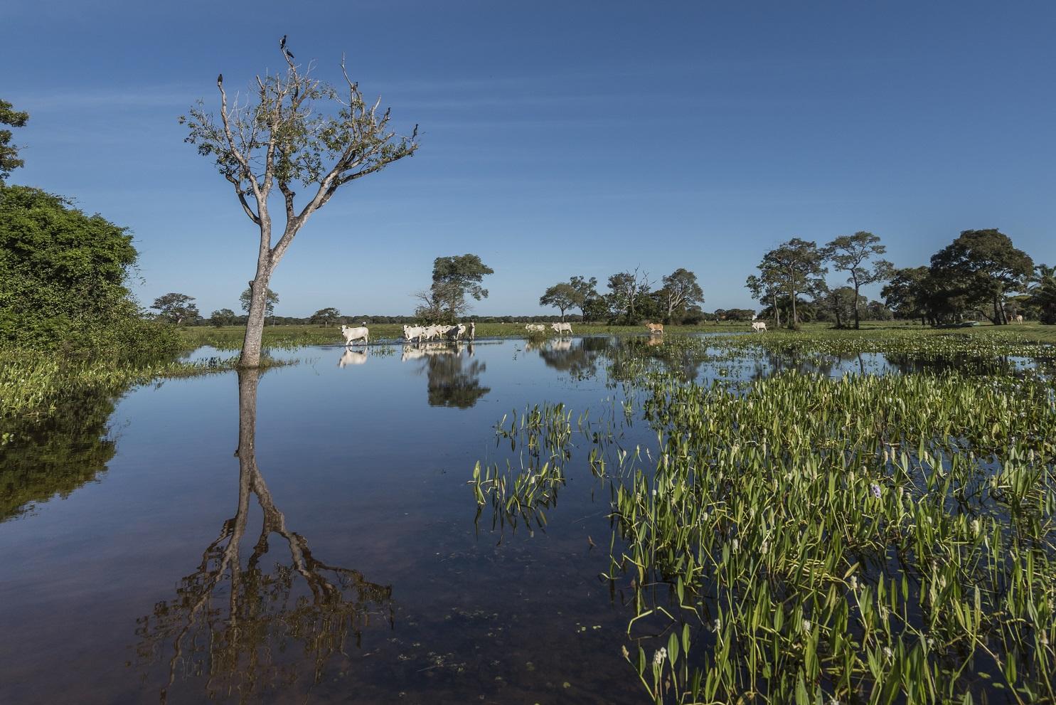 A pecuária orgânica no Pantanal proíbe o uso de agrotóxicos e outros produtos químicos para alimentação e cuidados com o gado, tratado com medicamentos fitoterápicos e homeopáticos.Foto Andre Dib/WWF-Brasil