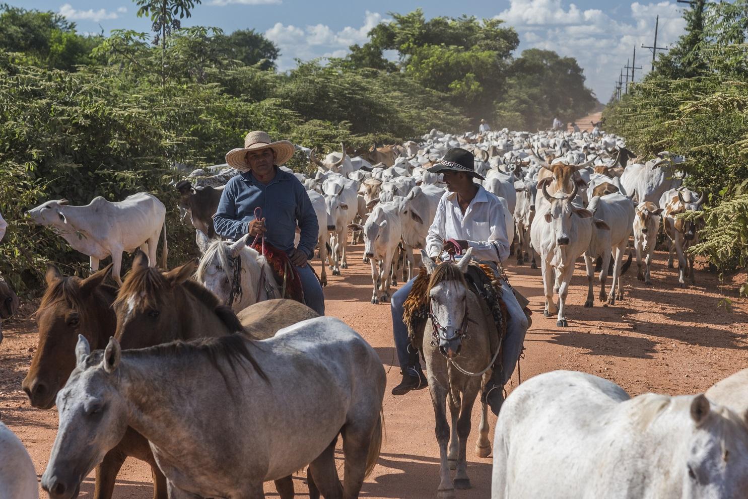 Atualmente, cinco empresas absorvem a produção de carne certificada do Pantanal, cujo rebanho é de 50 mil cabeças.Foto Andre Dib/WWF-Brasil