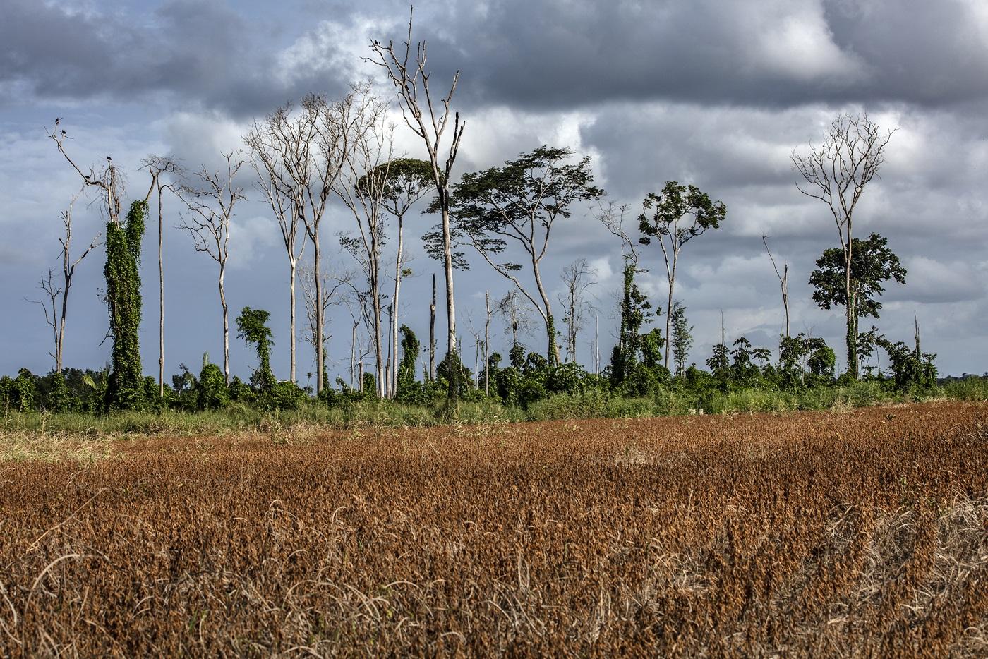 As plantações de soja estão entre os vilões do desmatamento na Amazônia. Foto Marizilda Cruppe/Rede Amazônia Sustentável