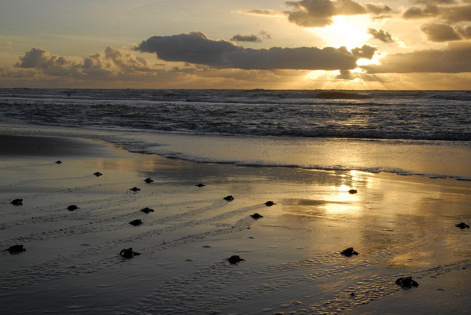 Graças ao Projeto Tamar, em 30 anos de existência, cerca de 37 milhões de tartaruguinhas conseguiram chegar ao mar. Foto Fundação Pró-Tamar