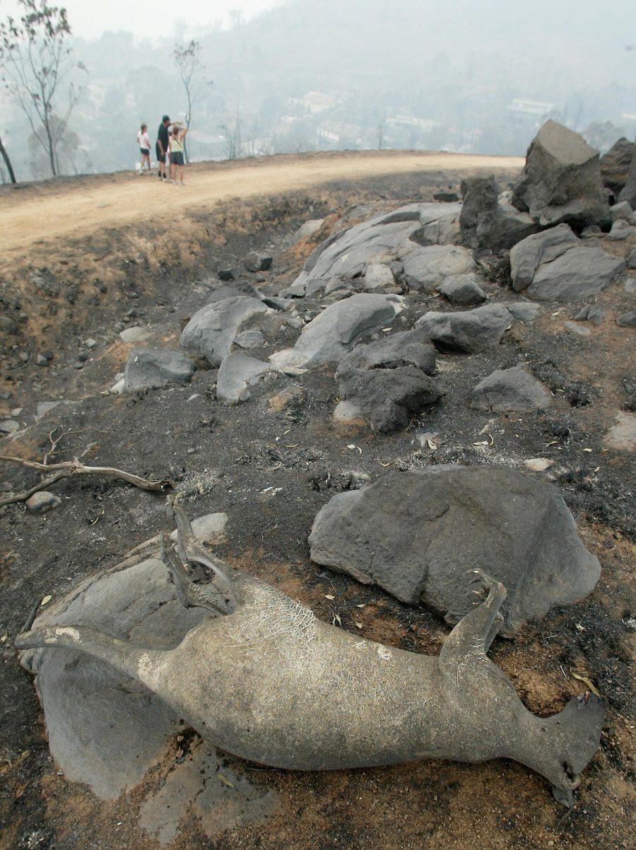 Canguru queimado perto de Camberra, na Austrália: mais de 500 milhões de animais de todos os tipos mortos durante incêndios florestais no país (Foto: Torsten Blackwood/AFP)
