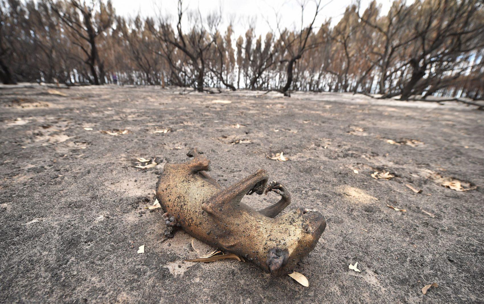 Coala morto pelo fogo na Ilha do Canguru, na Austrália: um terço da população dos coalas australianos já morreu nos incêndios (Foto: Peter Parkis/AFP)