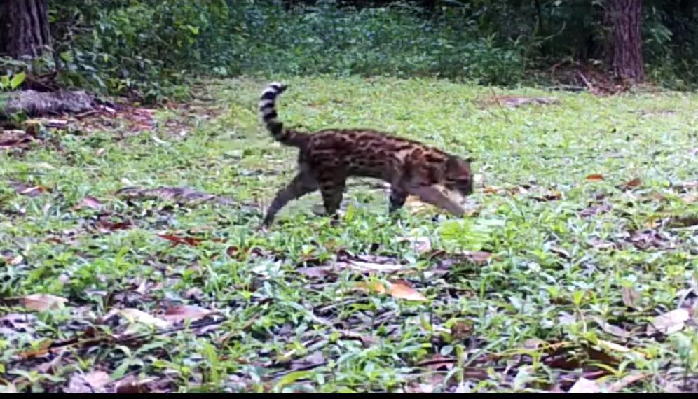 Gato-do-mato-pequeno, espécie considerada ameaçada de extinção pela lista do Ibama, avistado na Reserva Biológica de Petrópolis: imagem rara proporcionada pela quarentena (Foto: Inea/divulgação)
