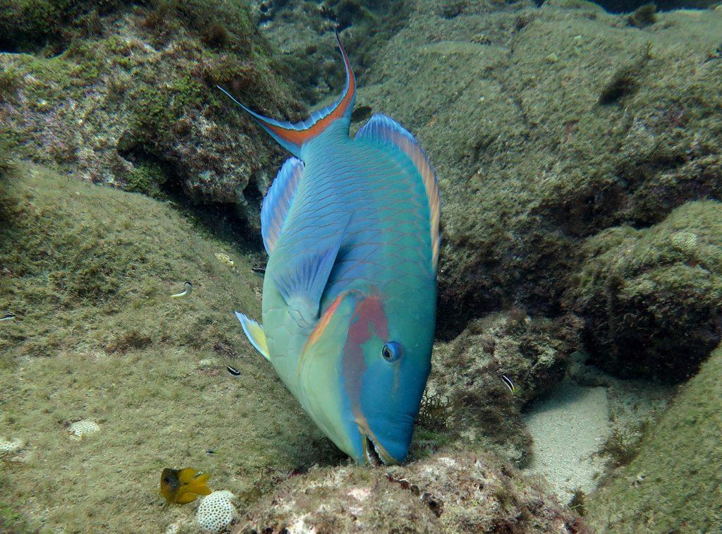 Peixe paraguaio em recife no litoral brasileiro: aquecimento dos oceanos pode fazer peixes migrarem para águas mais frescas (Foto: Sergio Floeter/UFSC)
