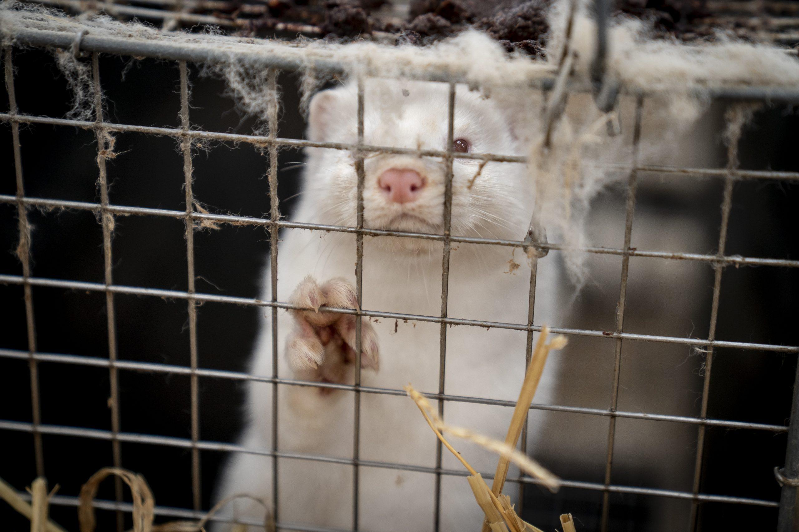 Vison em jaula na Dinamarca: estudo para saber como e por que os animais foram capazes de contrair o vírus e espalhar a doença Mads Claus Rasmussen / Ritzau Scanpix / AFP)