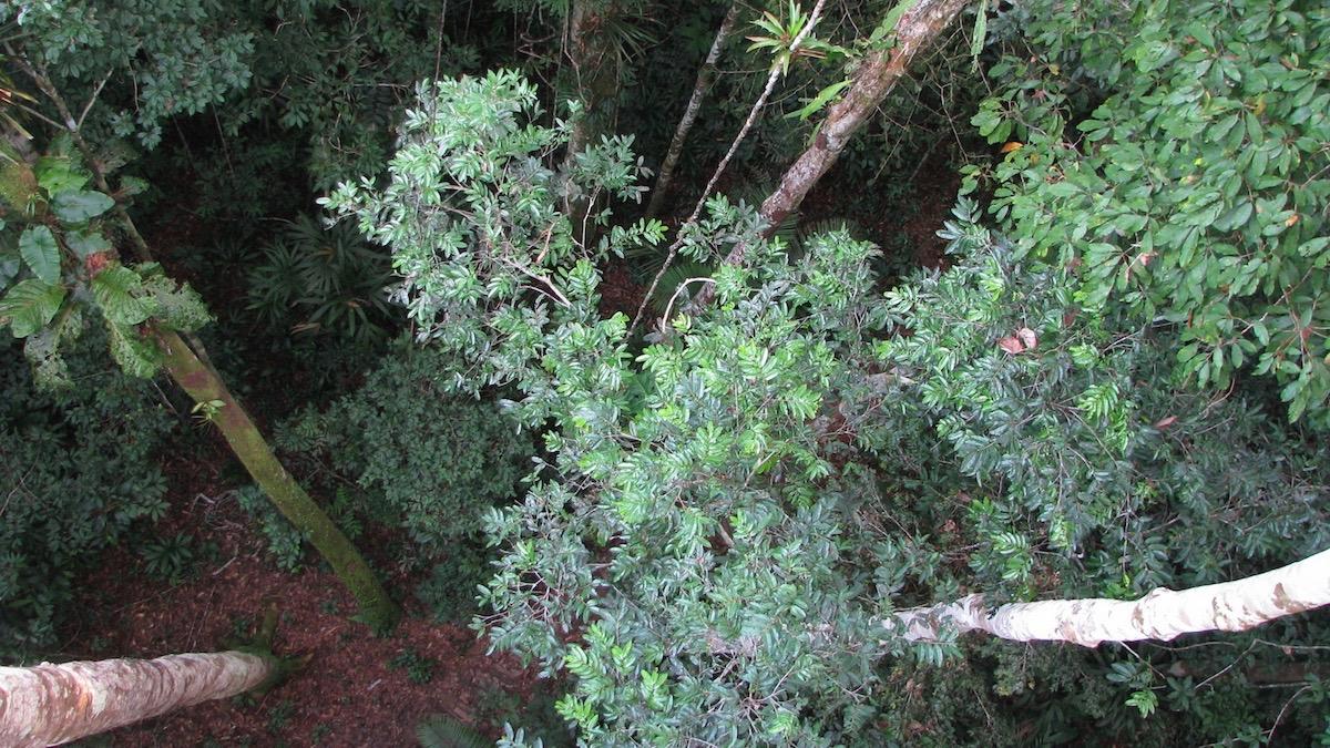 Árvores na Floresta Amazônica: com as mudanças no padrão de crescimento e longevidade as árvores, pesquisadores podem estar superestimando a capacidade de absorção dos gases de efeito estufa pelas florestas (Roel Brienen/University of Leeds)