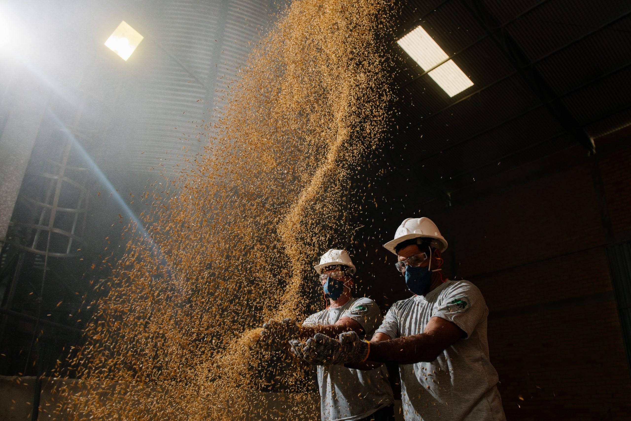 Plantação de arroz agroecológicos em assentamento do MST na região Metropolitana de Porto Alegre. Foto de Alex Garcia/ Divulgação