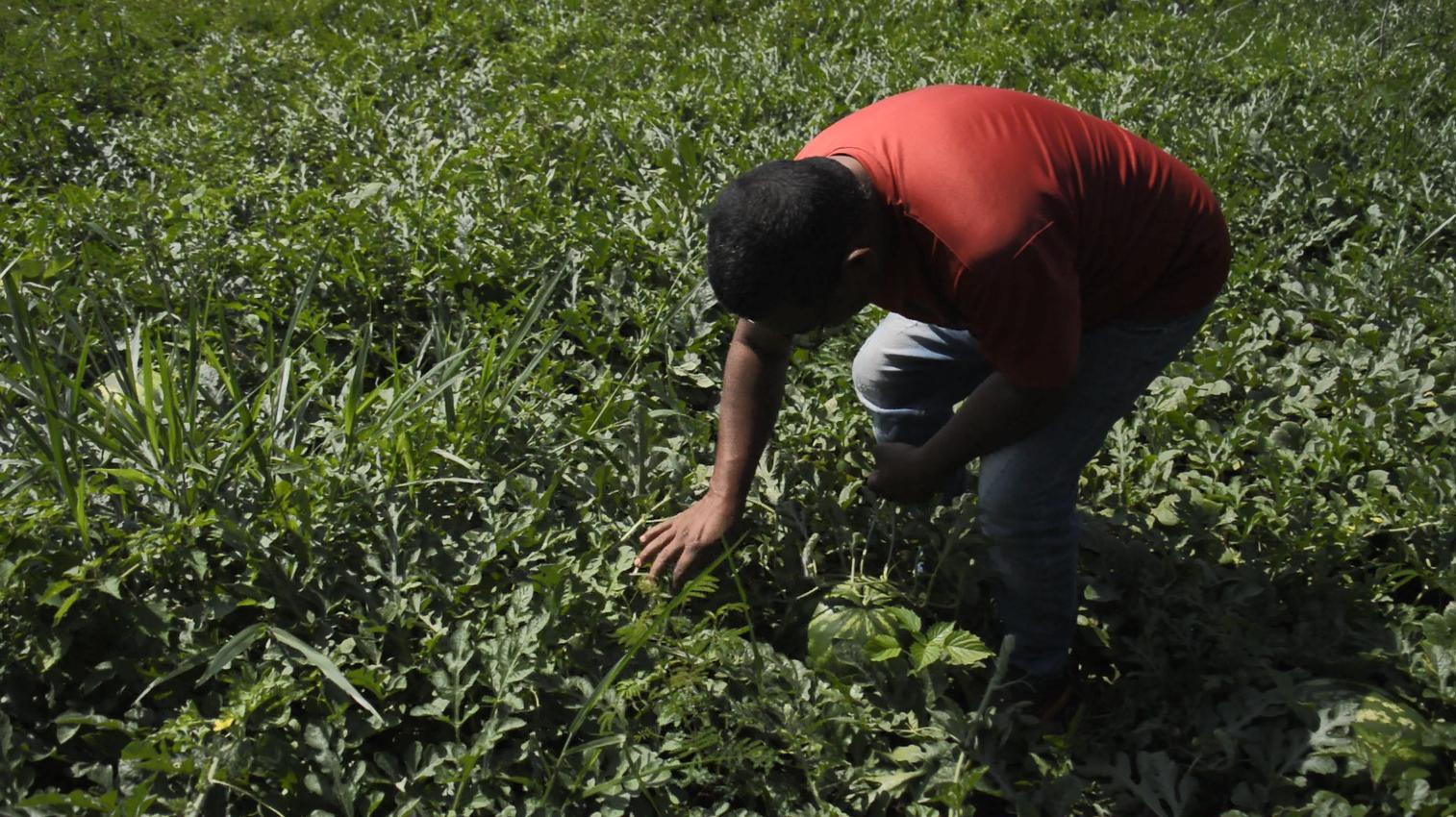Agricultor durante a colheita na comunidade quilombola São Miguel, em Maracaju (MS). Foto Ethieny Karen