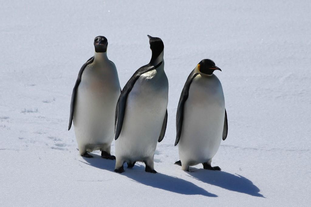 Pinguins imperadores na Antártica: redução de gelo estável e espesso para criar seus filhotes e substituir suas penas na muda ameala espécie (Foto: Liu Shiping / Xinhua / AFP)