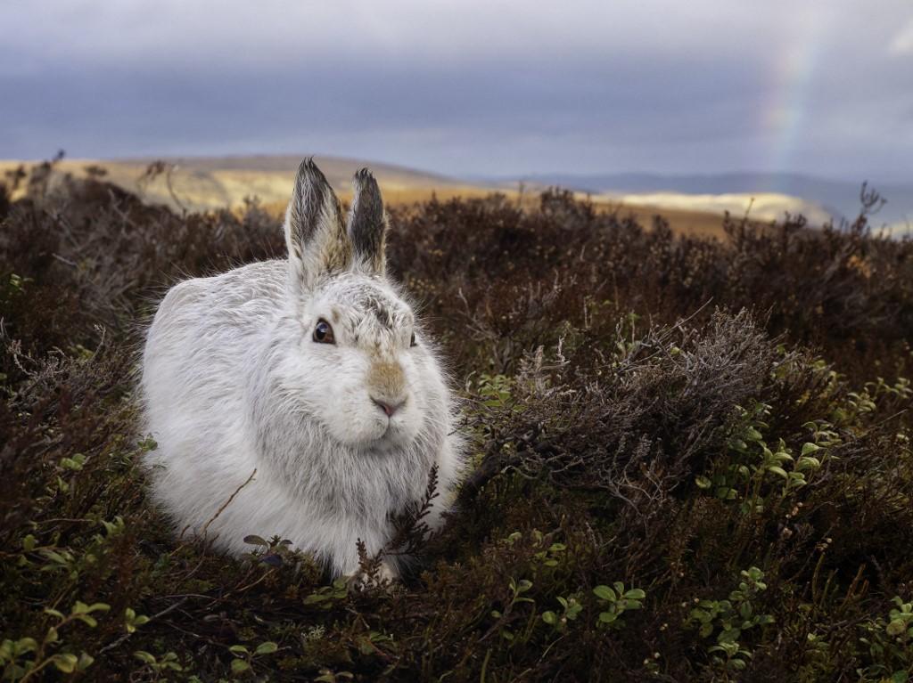 Lebre da montanha no Parque Nacional Cairngorms na Escócia: calor reduz habitat e deixa animal mais vulnerável a predadores (Foto: Tesni Ward / Biosphoto / AFP)