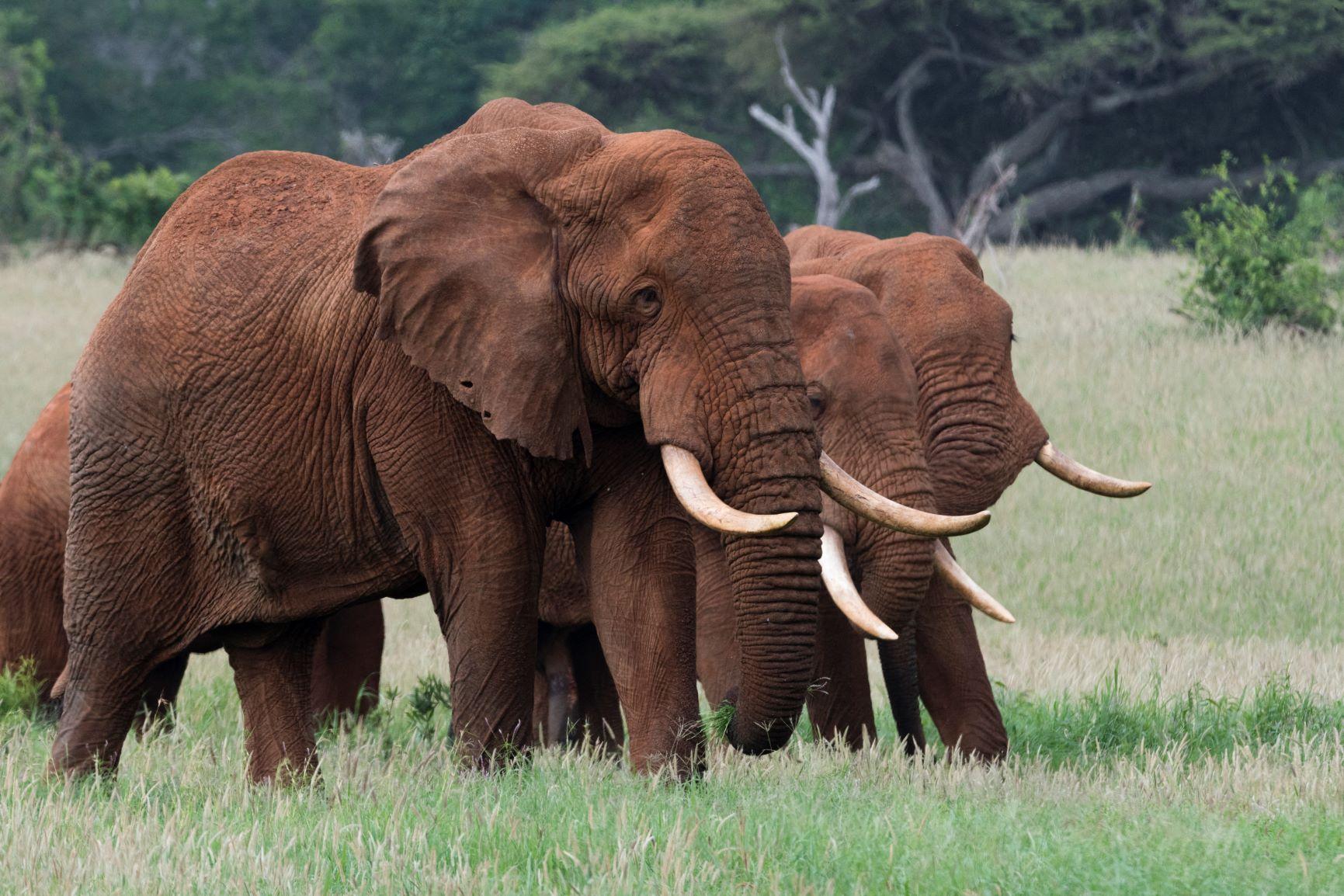 Elefantes da savana africana, maior espécie do continente: perigo de extinção por caça ilegal e perda de habitat (Foto: Sergio Pitamitz / Biosphoto / AFP)