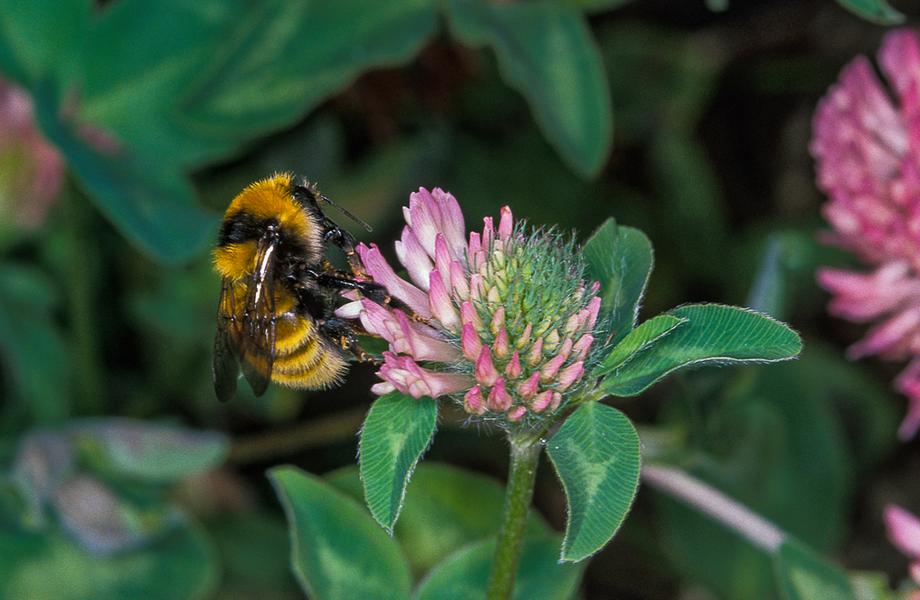 Abelhas polinizadoras: mudança para regiões mais frias por conta do aquecimento no habitat pode sacrificar algumas espécies (Foto: WWF)