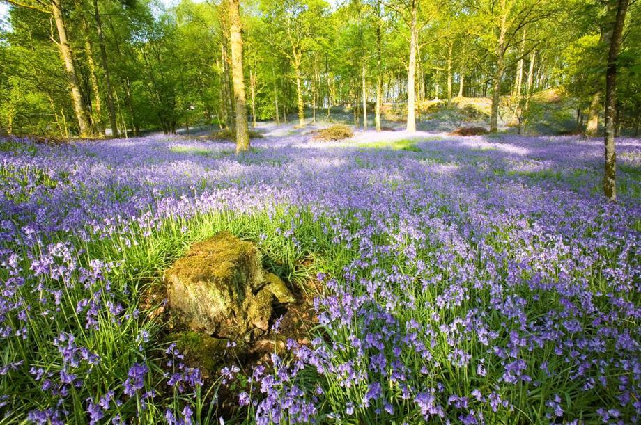 Bluebells no sul da Inglaterra: flores ameaçadas pela mudança climática que está alterando temporada de crescimento e queda das folhas das copas das árvores (Foto: WWF)