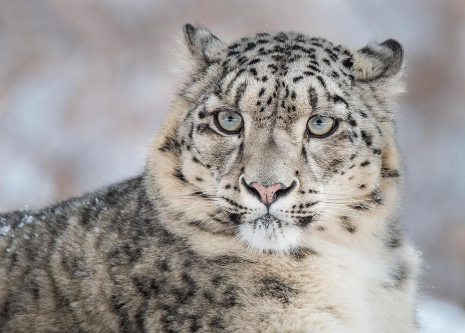 Leopardo-da-neve no Nepal: temperaturas mais altas devem reduzir seu habitat em 23% até 2070 (Foto: WWF)