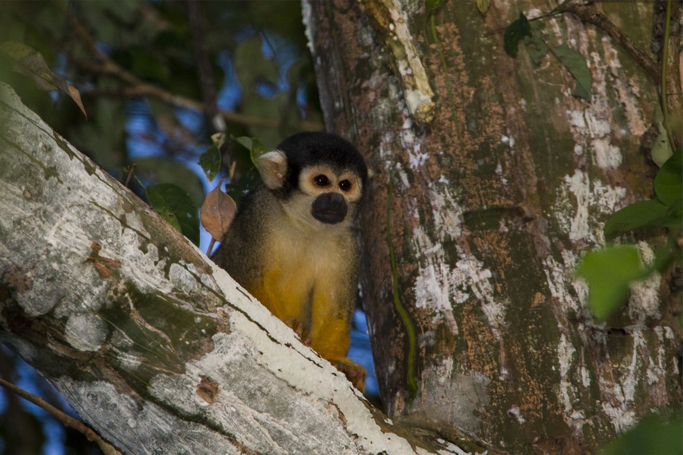 Macaco-esquilo-da-cabeça-preta oumacaco-de-cheiro-de-cabeça-preta) tem menor distribuição geográfica conhecida de todos os primatas tropicais: ameaçados pela mudança climática (Foto: Ismar Santana/ Instituto Mamirauá)