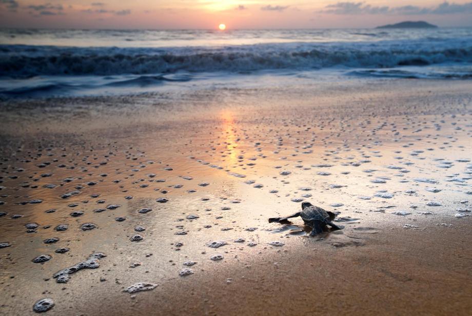 Tartaruga recém-nascida a caminho do mar: temperatura da areia determina sexo dos filhotes e calor desequilibra população (Foto: WWF)
