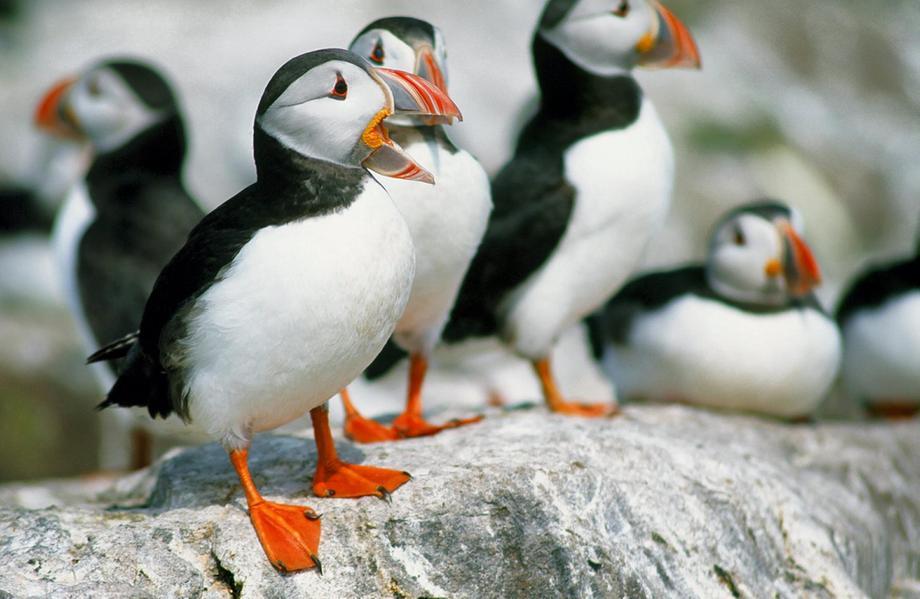 Papagaios-do-mar na costa britânica: tempestades mais severas e frequentes atingem essas aves marinhas, seus ninhos e ovos (Foto: WWF)