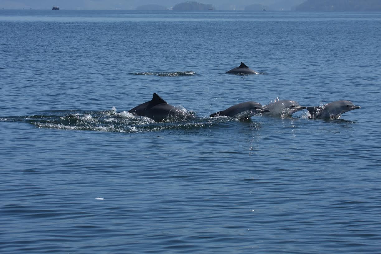 Botos-cinza na Baía de Sepetiba: estudos apontam que população da espécie no local teve redução de 60% (Foto: Instituto Boto-Cinza)