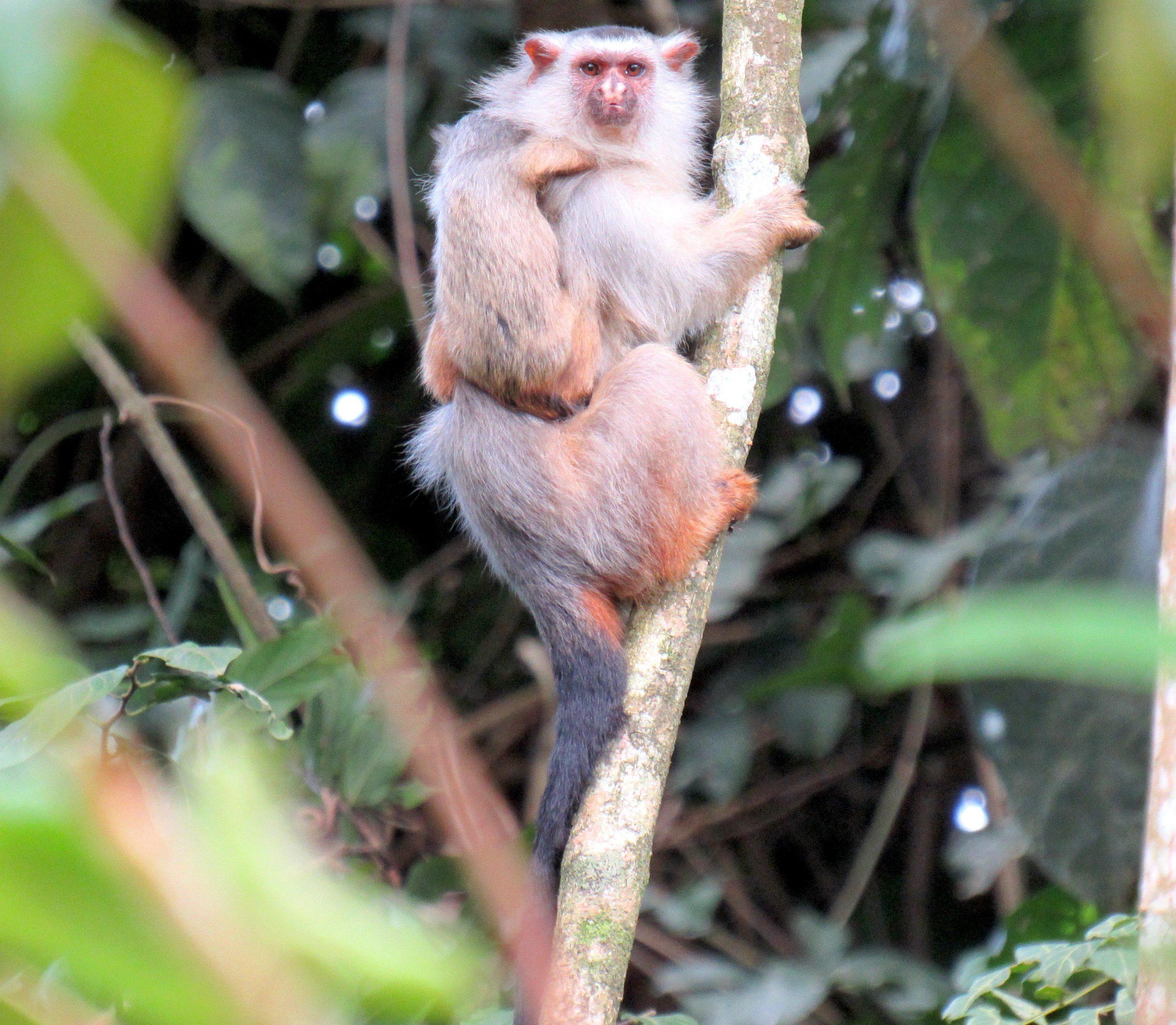 Primata da nova espécie na Floresta Amazônica, em Mato Grosso: características na pelagem e na localização diferem sagui de outros micos (Foto: Rodrigo Costa Araújo)